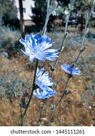 blue-lilac flowers chicory close-up of five pieces, field plants in the moring sun light city at the background