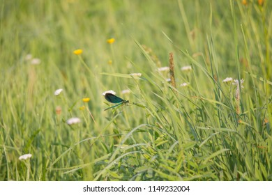 A blue-lying demoiselle sits in the light of the morning sun on a blade of grass