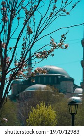 The BlueMosque Sultanahmet view with spring three branches and flovers in a sunny day