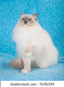 Bluepoint Mitted Ragdoll on blue background