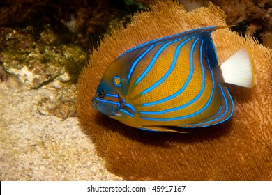 Bluering Angelfish (Pomacanthus annularis) in Aquarium