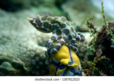 Blue-ringed octopus (Hapalochlaena sp.) on corals of Bali, Indonesia