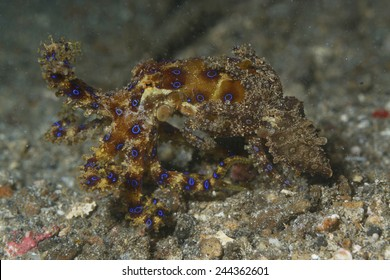 The blue-ringed octopus have mating.