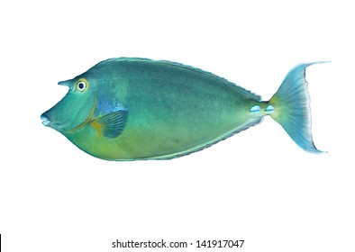 Bluespine unicornfish (Naso unicornis) isolated on white background.
