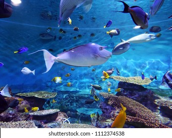 Bluespine Unicornfish, Unicorn Tang (Naso unicornis) in Aquarium