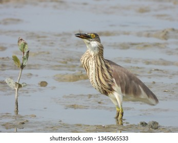 Bluespotted mudhopper was being swallowed by pond heron.you can see it in throat.Mudflat is an important feeding ground for waders.Birds swallow fish from head to tail to avoid choking by fish scales.