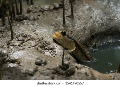 Blue-spotted mudskipper, Boddart's goggle-eyed goby (Boleophthalmus boddarti) in the mud at mangrove forest in  Thailand.