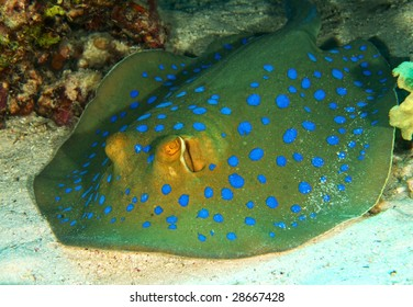 Bluespotted Ray against Reef
