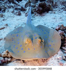 Bluespotted ray (Taeniura lymma) at the bottom of tropical sea, underwater