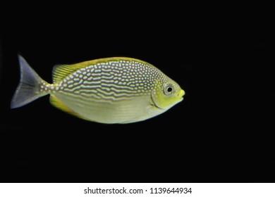 Java Rabbitfish Images, Stock Photos & Vectors | Shutterstock