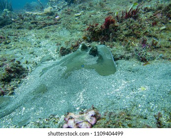 Blue-spotted Stingray, Bali, Indonesia, Asia