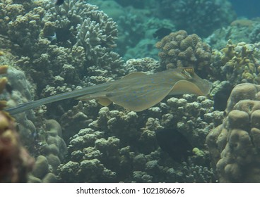 Blue-spotted stingray ( Dasyatis kuhlii ) swimming over coral reef of Bali, Indonesia