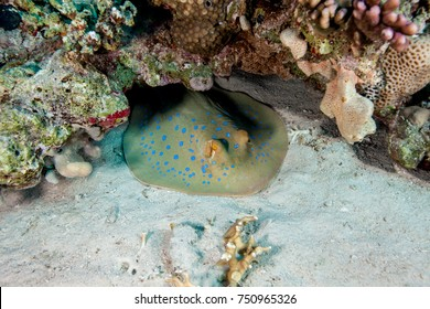 Bluespotted Stingray hidden in the sand