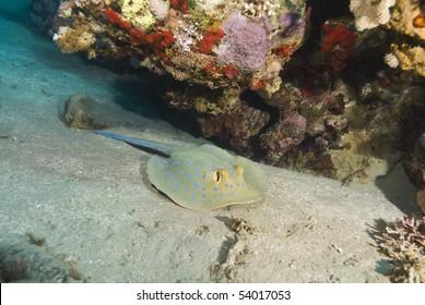 Bluespotted stingray (taeniura lymma) on a sandy bottom. Naama Bay, Sharm el Sheikh, Red Sea, Egypt.
