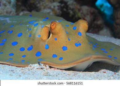 Bluespotted stingray (Taeniura lymma) on the sandy bottom of the Red Sea