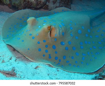 Bluespotted stingray (Taeniura lymma) on the sandy bottom of the Red Sea, Egypt