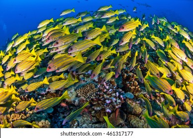 Bluestripe Snapper - Fakarava - French Polynesia