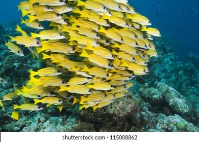 Bluestripe Snapper (Lutjanus kasmira) on a tropical coral reef off the islands of Palau in Micronesia.