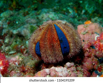 Blue-striped sea urchin, scitific name Mespilia globulus, on caral. Picture taken at North Andaman Sea, Thailand.