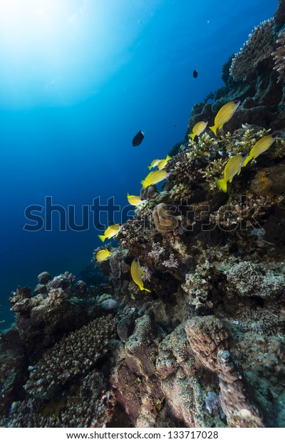 Blue-striped snappers in the tropical waters of the Red Sea