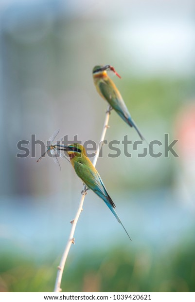 Blue-tailed bee-eater , Beautiful bird