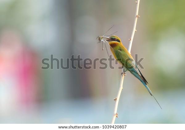 Blue-tailed bee-eater , Beautiful bird
