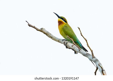 Blue-tailed bee-eater isolated perching on a perch with white background