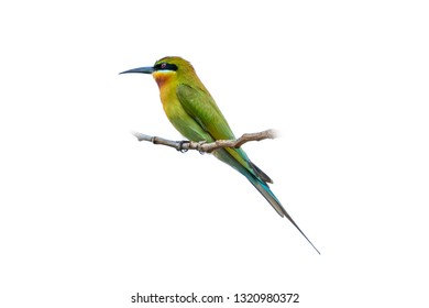 Blue-tailed bee-eater isolated perching on a perch isolated on white background