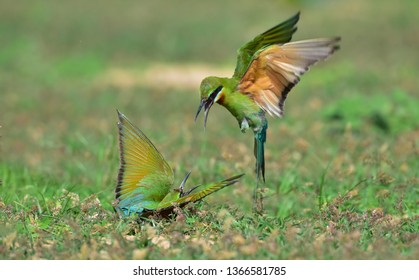 The blue-tailed bee-eater (Merops philippinus) is a near passerine bird in the bee-eater family Meropidae. It breeds in southeastern Asia. It is strongly migratory, seen seasonally in Thailand.