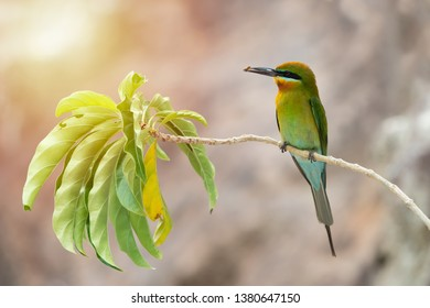 Blue-tailed bee-eater (Merops philippinus) perching on branch with a bee befor feeding its chicks, Phuket, Thailand. Blue-tailed bee-eater with bee