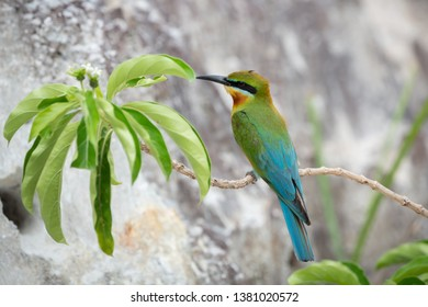 Blue-tailed bee-eater (Merops philippinus) perching on branch in front of its nest Phuket, Thailand. Blue-tailed bee-eater resting on branch
