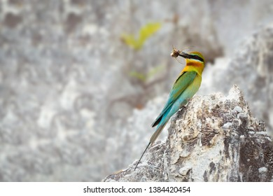 Blue-tailed bee-eater (Merops philippinus) perching on limestone hill with a cicada and look back before feeding its chicks, Phuket, Thailand. Blue-tailed bee-eater with cicada.