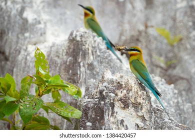Blue-tailed bee-eater (Merops philippinus) perching on limestone hill with a cicada before feeding its chicks, Phuket, Thailand. Blue-tailed bee-eater with cicada.