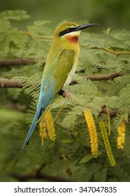 Blue-tailed Bee-eater Merops philippinus perching on  branch with yellow blossoms, green background,  near to Yala National Park, Sri Lanka, March