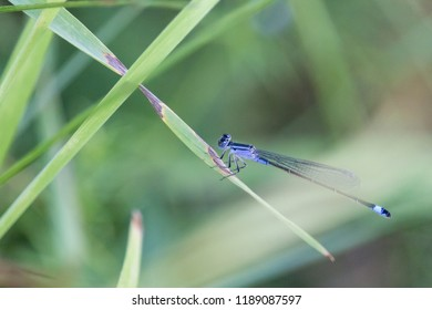 Blue-tailed damselfly or common bluetail (Ischnura elegans) sitting on stalk of grass with green blurred background. Beautiful elegant dragonfly with head and thorax patterned with blue and black.
