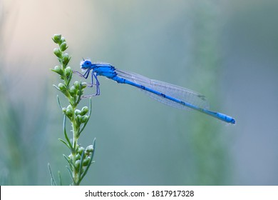 The blue-tailed damselfly or common bluetail (Ischnura elegans) is a damselfly, belonging to the family Coenagrionidae.