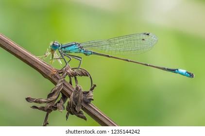 Blue-Tailed Damselfly (Ischnura elegans) With Prey