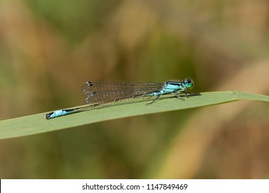 blue-tailed damselfly on reed