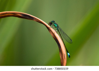 A blue-tailed damselfly perched on a dried reed over a pond, eating a fly.
