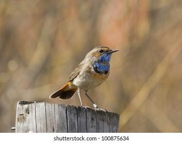 Bluethroat