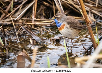A blue-throat bird (Luscinia svecica cyanecula) foraging in grass in search for insects during breeding season in Springtime