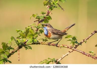 A blue-throat bird (Luscinia svecica cyanecula) singing to attract a female during breeding season in Springtime