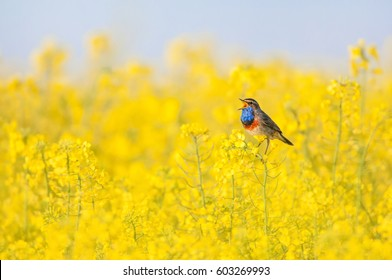 bluethroat chirping in a rape field