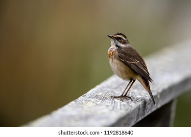 Bluethroat (Luscinia svecica, 1st-w) perching on the wooden railing with a nice defocused background.