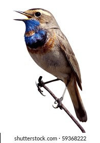 Bluethroat (Luscinia svecica). The beautiful bird sings a spring song in the wild nature. Wild bird in a natural habitat. Wildlife Photography.