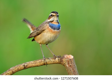 Bluethroat (Luscinia svecica), beautiful bright blue and orange feathers on its chest in tail wagging stance while perching on twig in nature