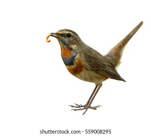 Bluethroat (Luscinia svecica) beautiful brown bird with blue and orange feathers on his chest carrying worm food in his mouth with wagging tail isolated on white background, exotic nature