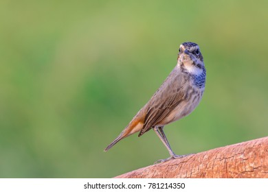 Bluethroat or Luscinia svecica, beautiful brown bird standing on top log with green background, Thailand.