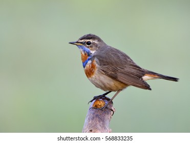 Bluethroat (Luscinia svecica) Beautiful chubby brown bird with orange and blue marking on its chest on wooden perch in morning soft lighting