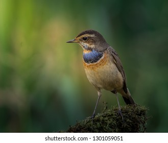 Bluethroat ( Luscinia svecica ) on dry branch.